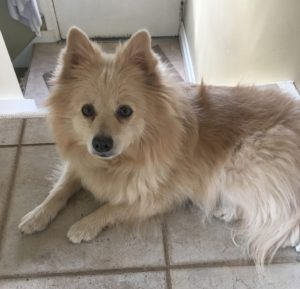 A blonde Spitz named Pippa