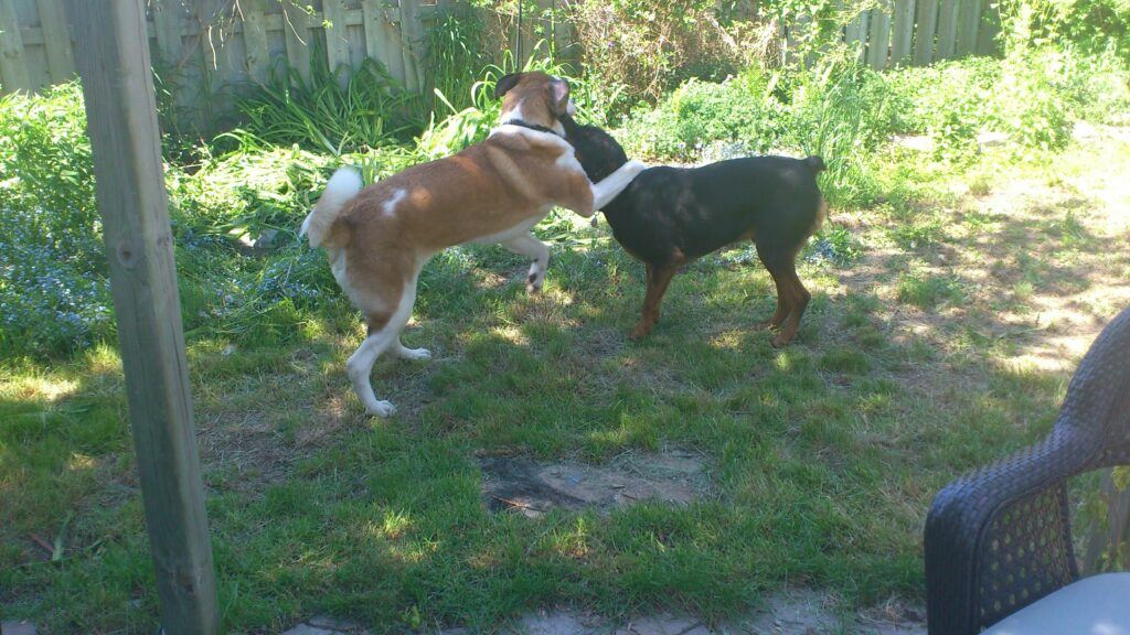 A St. Bernard and a Rottweiler playing