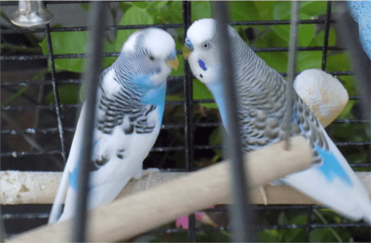 2 blue and white budgies