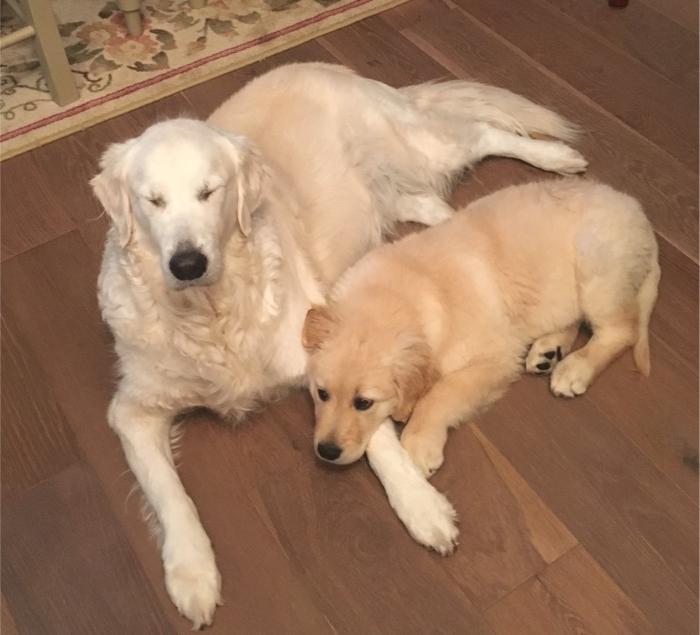 two golden retrievers, lying on floor