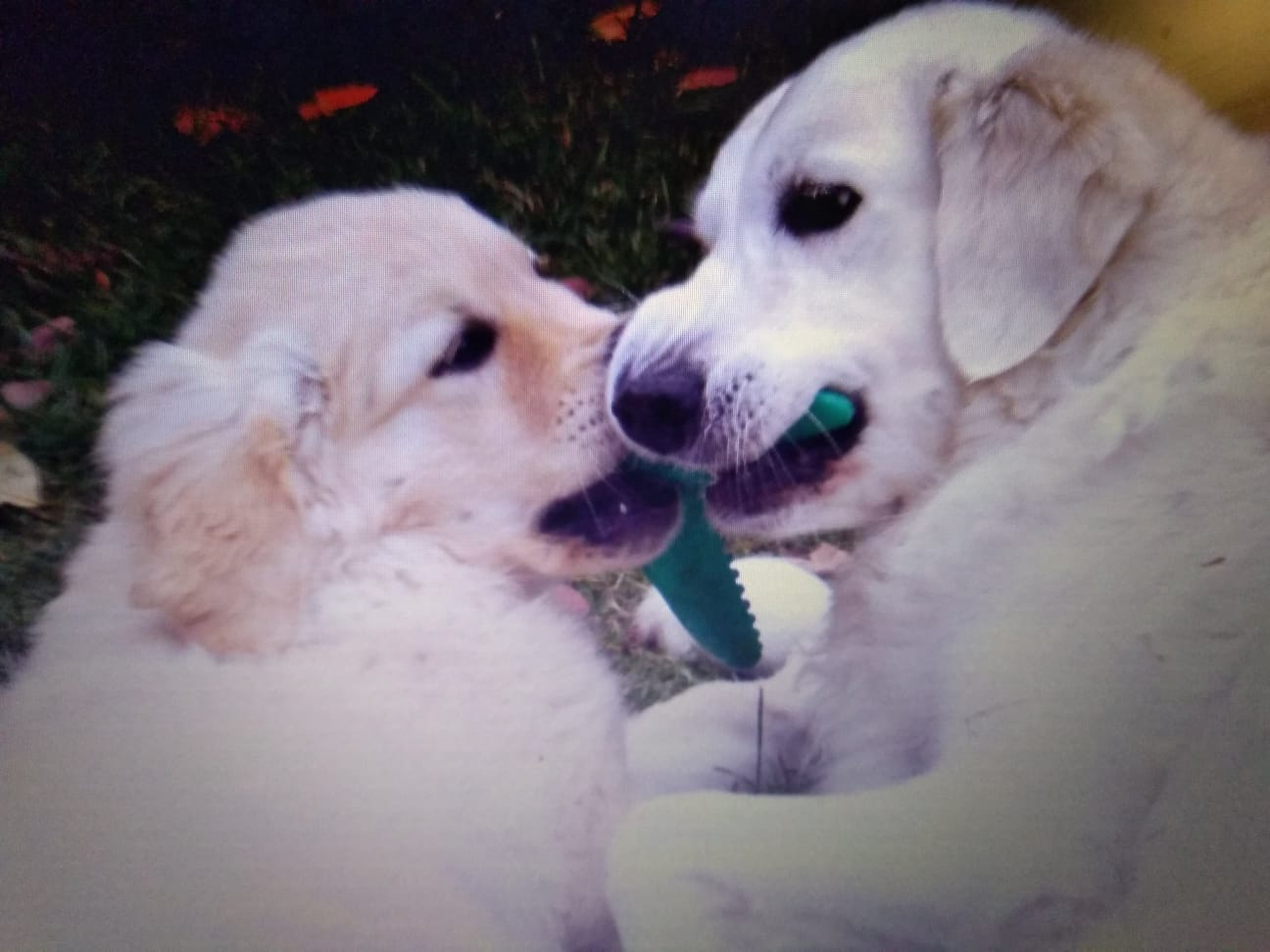 2 golden retrievers playing with a toy