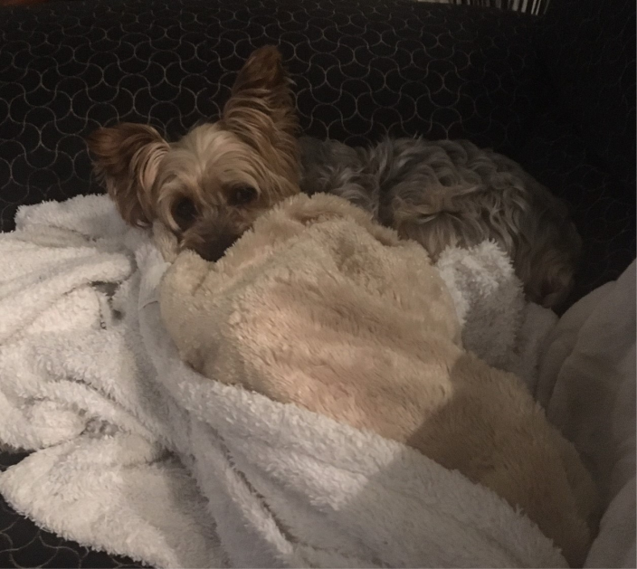 dog snuggled in a blanket