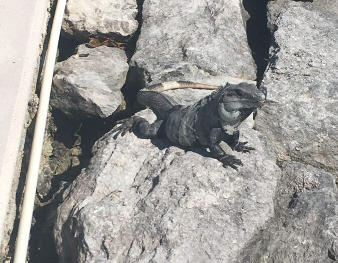 Iguana among the rocks